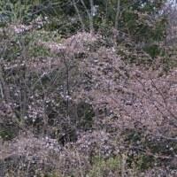 ヤマザクラも咲きました。