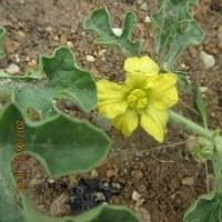 野菜の花・・・そしてスイカ・・・