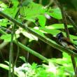 尾が短いけれど、アイリングがきれいなサンコウチョウのオス。