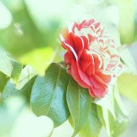 山茶花 (花 4195)