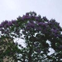 花~ジャカランタの花