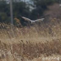 今日の鳥コレクション・・・ハイイロチュウヒ