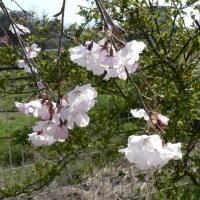 平安枝垂れ桜がほぼ満開