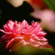 茶碗蓮 (花 4511)