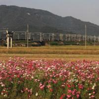近江鉄道 武佐駅近くのコスモスの思い出(2012年10月)
