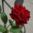 バラが庭に戻ってきました~♪