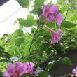 次々と咲くインカビレアのお花