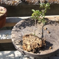 苗木を鉢上げします!