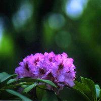花の詩「石楠花」