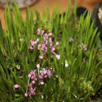 「おはようの花」 シマツルボ(縞蔓穂) 4月