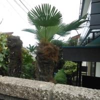 棕櫚(シュロ)の木。
