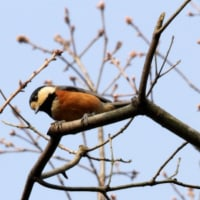3/26探鳥記録写真(瀬板の森の小鳥たち:ウグイス、ジョウビタキ、アトリ、キクイタダキ他)