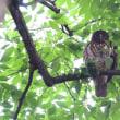 枝に、アオバズクが1羽とまっていた。