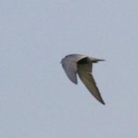 6/27探鳥記録写真(鞍手町の鳥たち:クロハラアジサシ、ゴイサギ、オオヨシキリ)