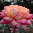 神代植物公園のバラ2011秋549