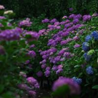 本土寺の紫陽花