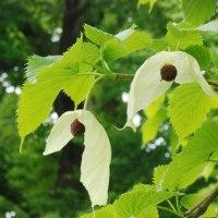 樹木ウォッチング冬から夏へ175ハンカチノキ2