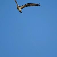 ミサゴの不思議な飛行写真(その3) (Photo No.13983)