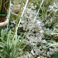 雑草と化したトラディスカンチア