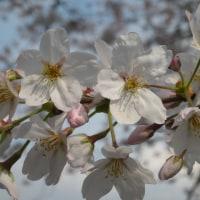 花見についてイタリア語で説明する(2015~16年)@アントニオ.マイッツァ先生の通訳案内士コースの宿題&グイダ・プリマベーラ