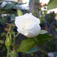 「マルガリータの庭」の秋バラ模様(Ⅱ)古参のバラたち
