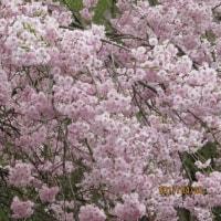 国道19号沿いの山々の新緑と坂下の桜