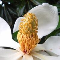 ヤマモモの実にタイサンボクの花