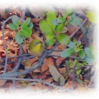春を告げる鳥(^^♪花の蜜を好むことから「はなすい」、「はなつゆ」などの地方名…「メジロ」
