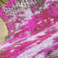 芝桜の斜面
