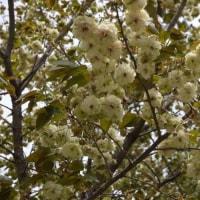 上野の森の【園里黄桜】