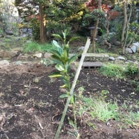 伊予柑とデコポンを植えつけました。