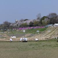 座間の大凧祭り、間もなく