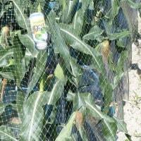 トウモロコシに防鳥ネットをかける。