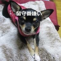 おねだり熟女の甘い罠&将棋の藤井聡太4段の29連勝にジッちゃん歓喜