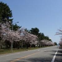 土浦海軍航空隊跡(現陸自土浦駐屯地)の桜古木並木