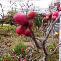 梅の赤、白、咲き始める