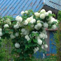 「おおてまり」の花が白くなりました