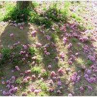 ウワミズ桜 咲きだす・ 長居公園【大阪市】    17・4.24
