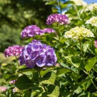 とっとり花回廊の紫陽花を観て思うこと