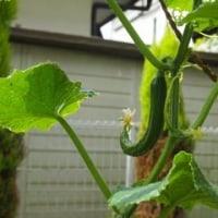 九想庵の庭に実る野菜