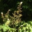タケニグサのほとんどの花が咲いて