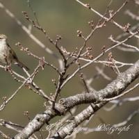 梅に鶯 パートⅡ