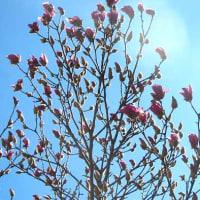 木蓮(もくれん)という花