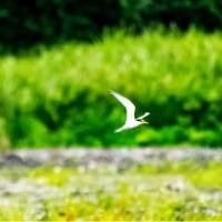 26/Jun 散歩道の薔薇とキンシバイとコアジサシ