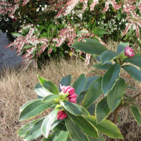 沈丁花と物々交換
