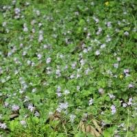 春の野の花~カキドオシ