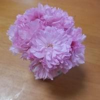 最近の散歩の様子。カケス・タンポポ・八重桜。