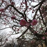 京都…最後の日…梅…♪