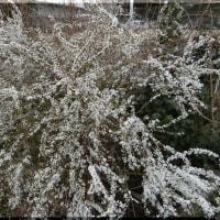 河津桜の挿し木に挑戦