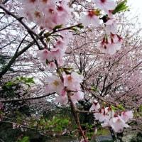 春の恒例行事でサクラ開花の九州へ